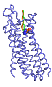 Backbone representation of manually docked starting peptides (orange and green).